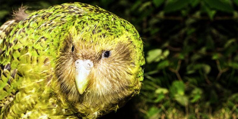 Kakapo-l'uccello più salvaguardato del mondo 1-800x400