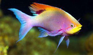 Pelvicachromis pulcher-300x180