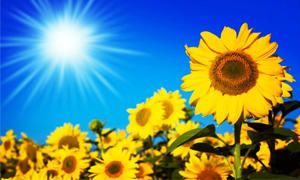 Perché il girasole cresce verso il Sole-300x180