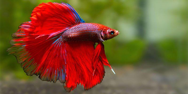 Pesci tropicali d 39 acquario 5 esemplari bellissimi for Pesci acqua dolce commestibili