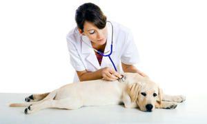 Rischio di contagio per l'uomo e per altri cani e modi di trasmissione-300x180