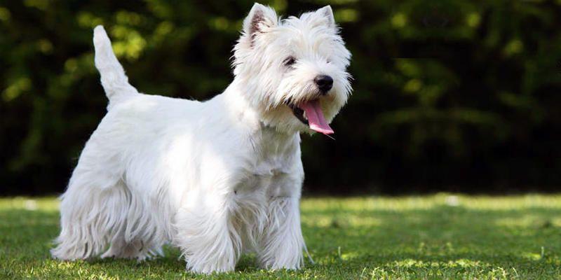 West Highland White Terrier 1-800x400