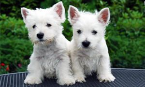 comportamento del West Highland White Terrier-300x180