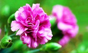 i messaggi segreti dei fiori-garofano-300x180