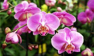 i messaggi segreti dei fiori-orchidea-300x180