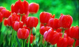 i messaggi segreti dei fiori-tulipano-300x180