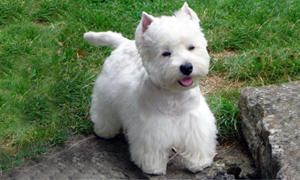 mantello del West Highland White Terrier-300x180
