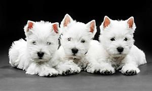 origine del West Highland White Terrier-300x180