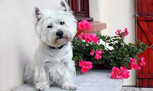 standard del West Highland White Terrier-300x180