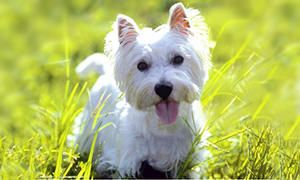 storia del West Highland White Terrier-300x180