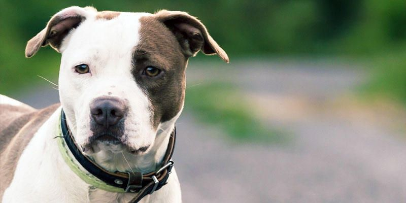 American Staffordshire-Terrier: un cane dal coraggio ... American Staffordshire Terrier 2014