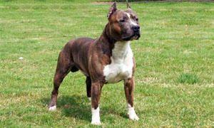American Staffordshire-Terrier-Cani da guardia al servizio dei malviventi e combattimenti-300x180