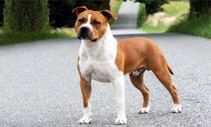 American Staffordshire-Terrier-Comportamento-300x180