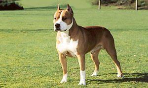 American Staffordshire-Terrier-Origine e storia-300x180