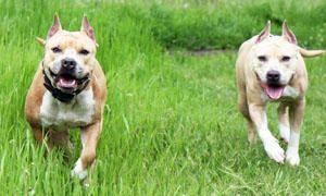 American Staffordshire-Terrier-Una razza sul banco degli accusati-300x180