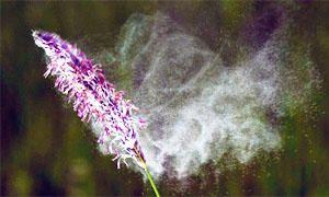 I pollini, allergeni volanti-300x180