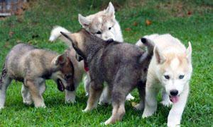 Il cucciolo presso i cani-300x180