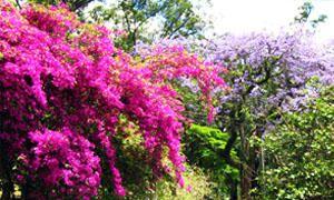 La bouganvillea dalle foglie viola-300x180
