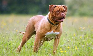 Lo Standard del Dogue de Bordeaux-300x180