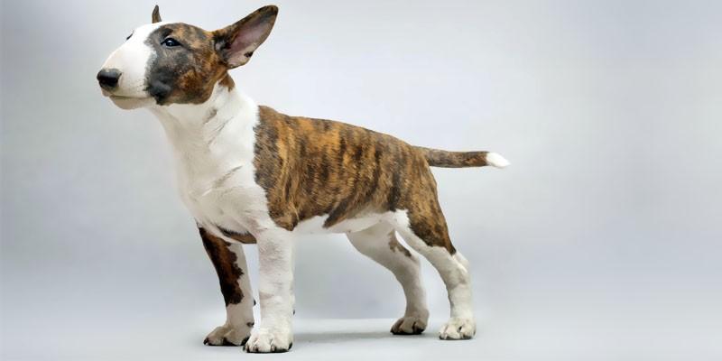 Bull Terrier 1-800x400