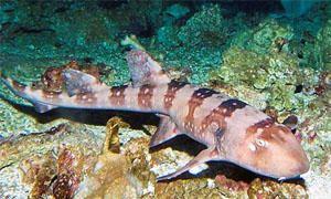 Hemiscyllium ocellatum - Epaulette Shark-300x180