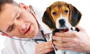 Le leptospirosi canine-300x180