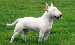 E Cattivo Il Bull Terrier Il Bull-Terrier  che e