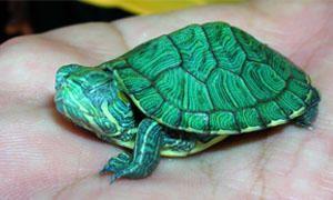 Tartarughe d'acqua-Come sono fatte-300x180