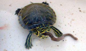 Tartarughe d'acqua-Cosa mangiano-300x180