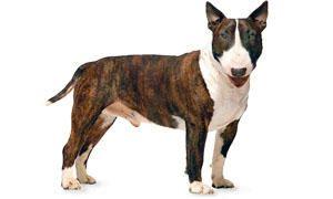 standard Bull Terrier-300x180