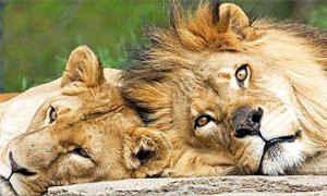 5 favole sui leoni-300x180