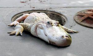 I famigerati coccodrilli bianchi delle fogne di New York-300x180