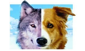 La differenziazione in due taglie e il lupo-300x180
