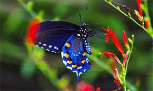 Di cosa si nutrono i Lepidotteri-300x180