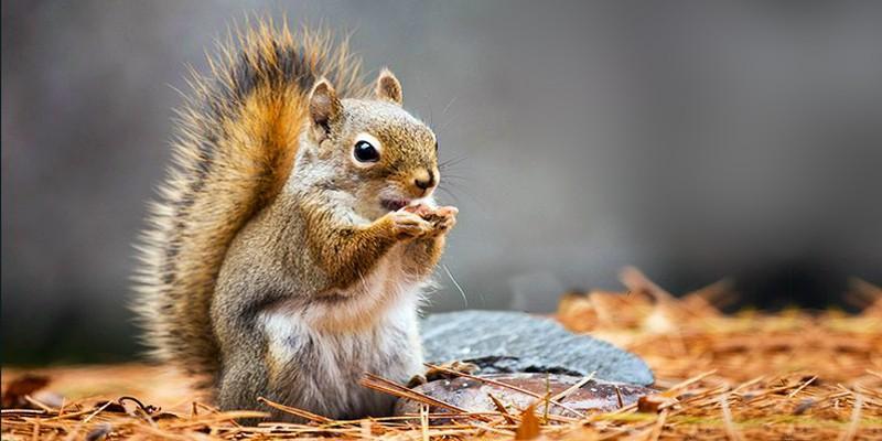 Gli scoiattoli il genere Tamias 1-800x400