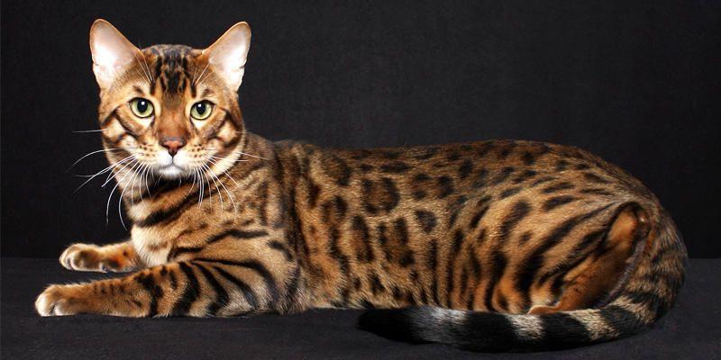 Il gatto Bengala 2-800X400