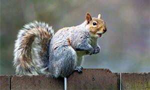 Il ruolo degli scoiattoli nell'ecosistema-300x180