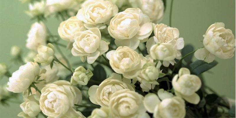 La rosa bianca 4-800x400