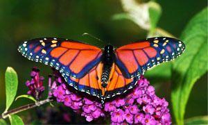 Le larve e gli adulti-300x180