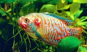 Tubercolosi dei pesci-300x180