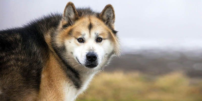 Il Groenlandese: un cane artico, resistente, devoto e leale