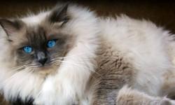 Il Ragdoll- meravigliosa creatura dai profondi occhi blu 2-800x400