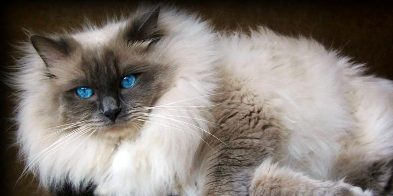 Il Ragdoll Meravigliosa Creatura Dai Profondi Occhi Blu Best5it