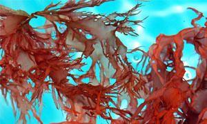 L'alga carragheen e l'alga dulse (Palmaria Palmata)-300x180