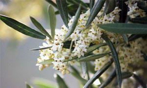 L'aspetto esteriore dell'olivo-300x180