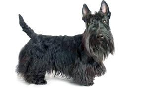 Lo Standard dello Scottish-Terrier -300x180