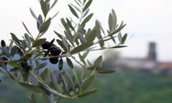 L'olivo-un albero forte e generoso 1-800x400