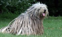 Pastore Bergamasco- una delle più antiche razze canine italiane 1-800x400