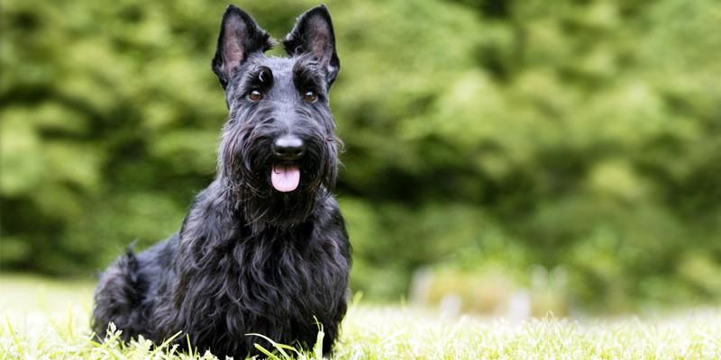 Scottish-Terrier-un cane piccolo ma possente 2-800x400