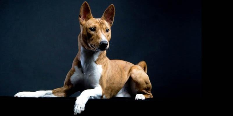 Basenji-il cane più gatto fra tutti i cani 4-800x400